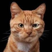 I Like Ginger Cats